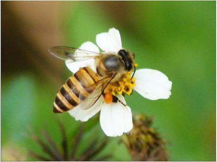 Пчелы и пестициды несовместимы