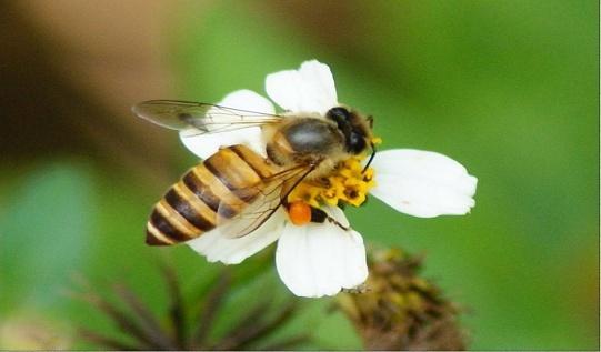 Пчелы и пестициды