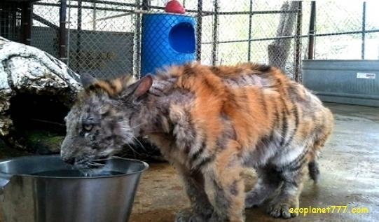 Физическое наказание - метод обучения тигров
