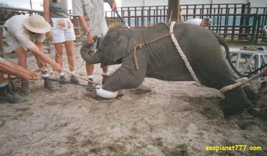 Ужасные методы дрессировки слонов