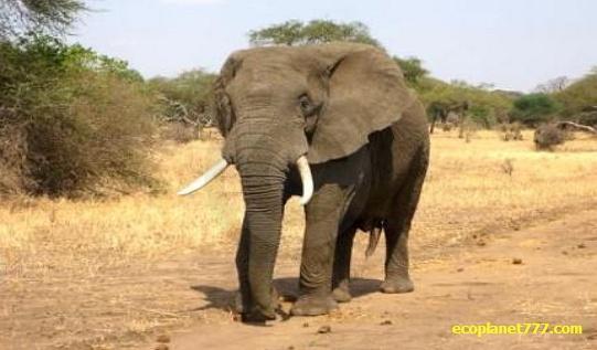 Торговля слоновой костью наказуема