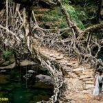 Корневые мосты Черапунджи