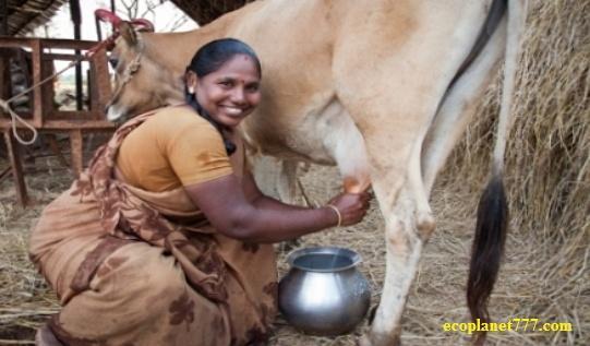 Крупнейший производитель молока