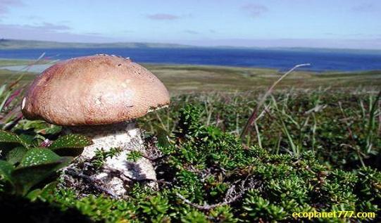 Высота грибов в тундре
