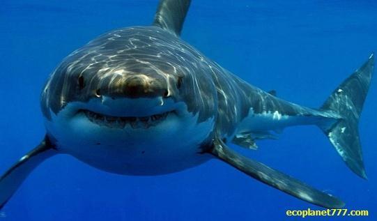 Акула чувствует каплю крови