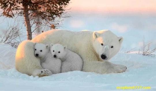 Печень полярного медведя