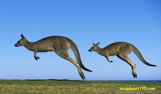 Прыжок кенгуру