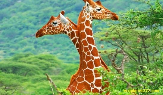 Уникальная кровеносная система жирафа