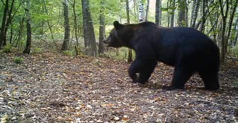 Бурый медведь в лесу возле ЧАЕС