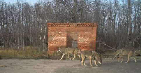 Волки в зоне отчуждения